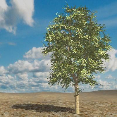 3D Katalog Pflanzen: Amerikanische Buche