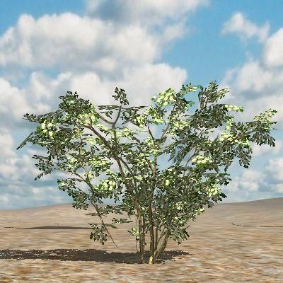 3D Katalog Pflanzen: Blauer Holunder