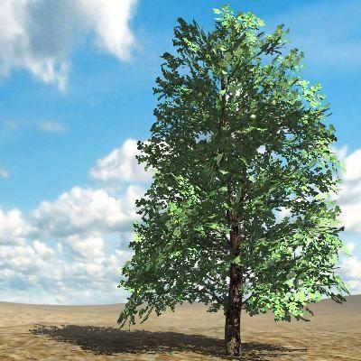 3D Katalog Pflanzen: Linden 19m