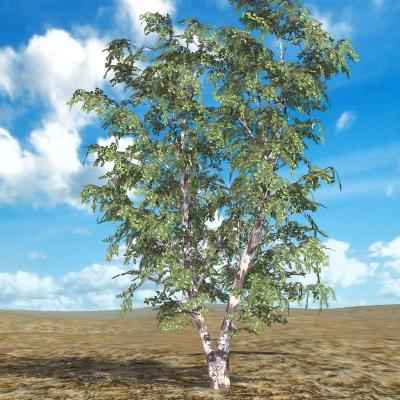 3D Katalog Pflanzen: Birke